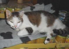 """Das ist unsere Susi Sorglos. Eine 3-Farbige (Glücks-) Wohnungskatze. Susi ist ca. 2005 geboren also auch schon ein """"älteres Semester"""".  Sie ist gechipt, tätowiert und kastriert, wurde auf FIV/Leukose negativ getestet und grundimmunisiert. Susi kennt andere Katzen und Hunde somit sollte das Zusammenleben mit anderen Artgenossen kein Problem darstellen.  Sie wird gegen eine Schutzgebühr mit Schutzvertrag vermittelt. Kontakt: Jutta Knierim-Haustein  Tel: 06034 / 8405   Mobil: 0157-75 70 75 03"""