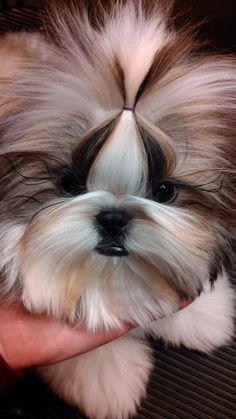 aww...a Shih Tzu cutie