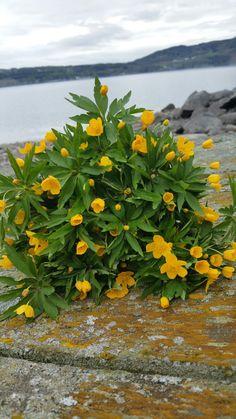 Gulveis Parsley, Herbs, Pictures, Herb, Medicinal Plants