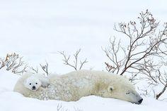 Osos blancos en la Bahía de Hudson