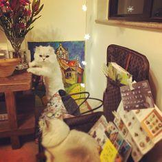 Our corner#cats #kitten #lovecats #ragdoll #chinchilla #Persian #kitten #meow #lovecat
