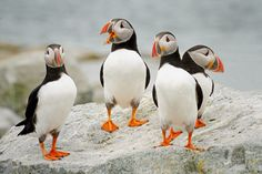 Puffin Party by Barbara Motter / 500px