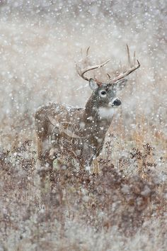 White-Tailed Deer Buck in mist | White-tailed Deer Buck (Odocoileus virginianus) on a cold, wet, snowy ...