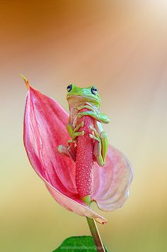 cute frog on a beautiful flower :) Cute Creatures, Beautiful Creatures, Animals Beautiful, Beautiful Images, Funny Frogs, Cute Frogs, Animals And Pets, Funny Animals, Cute Animals