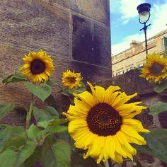 Finally the sunflowers have bloomed #edinburgh #stockbridge #flowers #sunflowers #summer #basement #stockbridgeedinburgh #scotland