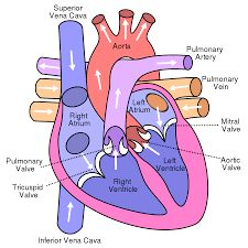 Image result for heart right atrium