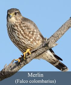"""The Merlin or as it is scientifically know as, Falco colombarius, is a falcon that breeds in many different continents like North America, Asia and Europe. In North America it is known as a pigeon hawk, and the Latin part of its scientific name, """"columba"""", means dove also indicating the falcon's popular food choice. But the name is incorrect in that it is not a hawk but a falcon and so the name is not often used."""