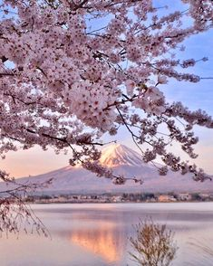 Cherry blossom explosion at Mount Fuji ~ Kawaguchi Lake, Yamanashi, Japan. Photo… – All Pictures Japan Travel Guide, Tokyo Travel, Tokyo Trip, Nature Pictures, Cool Pictures, Cherry Blossom Japan, Cherry Blossoms, Beautiful Places In Japan, Monte Fuji