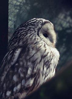 Fluffy Owl