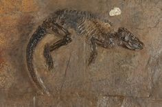 Pholidocercus hassiacus fossil discovered in Messel Pit, July 4th, 2009