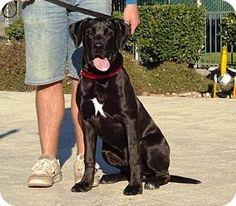 Lathrop, CA - Labrador Retriever/Great Dane Mix. Meet Chevy, a dog for adoption. http://www.adoptapet.com/pet/14380329-lathrop-california-labrador-retriever-mix