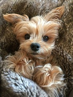 #yorkie  ♛BOUTIQUE CHIC♛