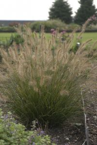 "Piglet Fountain Grass on http://www.hortmag.comOnly 18"" high & 30"" wide"
