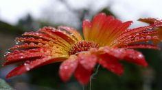 Drops of Water - drops, wet, gerbera, blossom