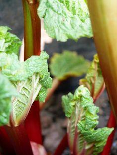 Rabarber - Diana's mooie moestuin Parsley, Celery, Diana, Herbs, Vegetables, Food, Essen, Herb, Vegetable Recipes
