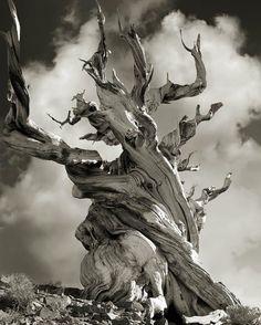 人間の所業はすべて見てきた感が凄い!モノクロ写真で見る古代樹 : カラパイア