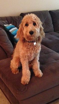 Daisy Mae's first haircut, my little goldendoodle baby