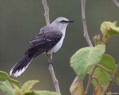 Mimus gilvus(Tropical Mockingbird)Тропический певчий пересмешник