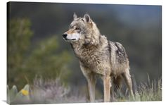 http://www.explosionluck.com/collections/wildlife-wall-painting/products/gray-wolf-north-america