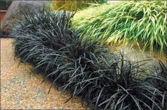 Black Mondo Grass grows well in sun or deep shade. -Plant height is 6 inches tall and 2 feet wide. Black mondo grass is a wonderful accent plant, setting off lighter plants such as ferns. Garden Border Plants, Garden Shrubs, Garden Borders, Shade Garden, Lawn And Garden, Edging Plants, Foliage Plants, Pot Plants, Landscaping Shrubs