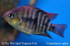 T-Bar Cichlid TR Amatitlania sajica Swordtail Fish, Platy Fish, Cichlid Fish, Cichlids, Live Aquarium Fish, Tropical Aquarium, Tropical Fish, Tropical Freshwater Fish, Freshwater Aquarium Fish
