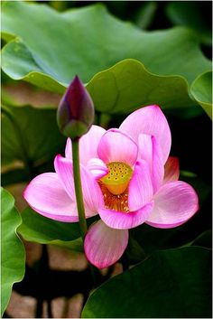 Blossom Garden - Paradise of Flowers! Pond Plants, Aquatic Plants, Water Plants, Water Flowers, Love Flowers, Beautiful Flowers, Blossom Garden, Blossom Flower, Lotus Blossoms