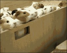 LET'S DO IT! | The First Day Of School, According To Cute Guinea Pigs