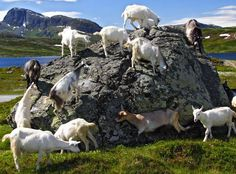 Goat party! Jotunheimen.com National Park #Norway