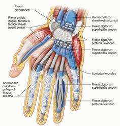 Ligaments of the wrist, palmar view. | Anatomy of hand/wrist ...