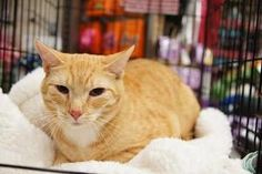 Doozie and Wendal is an adoptable Domestic Short Hair - Orange And White Cat in Norwalk, CT. Doozie and Wendal were adopted from us as small kittens. The family relocated overseas and gave them up. Th...