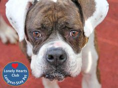 """September 10, 2014 - Adoptable dog: LUCY – ID# A0682065  """"What a GREAT dog!"""" My new friends here can't say enough positive things about me: I'm a sweet girl with a gentle, calm disposition who loves attention and being with my people. I walk great on a leash, and know how to sit on command. I am a special pet and hope you will come meet me if I might be the dog for you.  I would be happiest in a home with no small children.  Let's meet today! Dumb Friends League – Denver."""