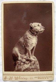 Vintage 1880s Early 1890s Cabinet Card Photo Of Railroad Jack The Dog Mascot