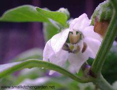 Pepper blossom for Garden Bloggers Bloom Day