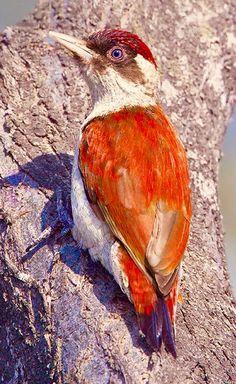 Scarlet-backed Woodpecker (Veniliornis callonotus) Columbia, Ecuador, and Peru