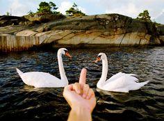 Fuck the swan.
