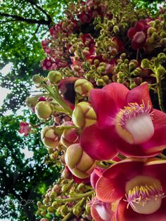 "Cannonball flower - Photo make in a urban park at Rio de Janeiro during the summer. The ""abricó de macaco"" or cannonball tree (Couroupita guianensis) is a tree native to the rainforests of Central and South America. The flowers are also strongly sweet scented and the fruit is spherical and woody. The flowers are born in trunk from large bunches, so I had to point the camera to the sky to make the photo.  Thank you for all comments, votes and faves."