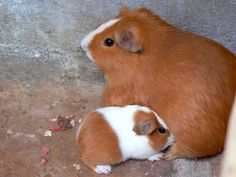 Guinea Pig with baby - cute