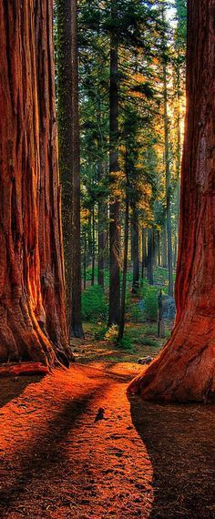 #beauty #nature #redwoods outdoor wood wanderlust