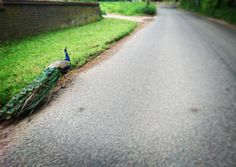 'Proud as a #Peacock' The random things you see on an early ride. But this little fella was more interested in playing chicken! #AATR #allabouttheride #cycling #Sundayride