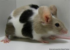 Hamsters, Rodents, Zoo Animals, Animals And Pets, Cute Animals, Small Animals, Pocket Pet, Cute Rats, Pet Mice