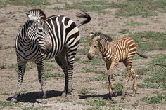 Brown stripes are natural among newborn zebras; they turn black between 9 and 18 months old.