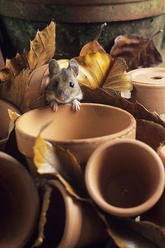 Wood Mouse Art Print by David Aubrey.
