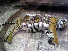 虎柄の子ブタを虎は、育てるのか?実験画像が凄いぞ! | A!@Atsuhiko Takahashi  (via http://attrip.jp/101849 )