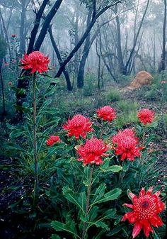 Waratahs at the Rhododendron Gardens, Blackheath NSW