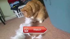 😸 My funny cat video 😼 I saw my cat Simon playing with a feathered scarf I had to film it was so damn funny 😽 on Pet Lovers 😻