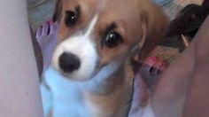 Cutest Puppy Ever!!!! Beagle Corgi Mix, via YouTube.