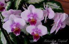 Floración de una especie de Phalaenopsis, orquídea purificadora.