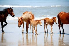 awesome!    (I wonder if these are Assateague/Chincoteague ponies? Read more: http://www.nps.gov/asis/naturescience/horses.htm