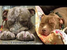 Troy - Extended version (for photos from his new home, join my FB page). Mastiff, Animal Graphic, Dog Stories, My Fb, Pit Bulls, Pitbull Terrier, Happy Dogs, Troy, Dog Life