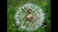 Pflanzenwissen im SpielRaumNatur Dandelion, Community, Nature, Flowers, Plants, Life, Explore, Seeds, Naturaleza